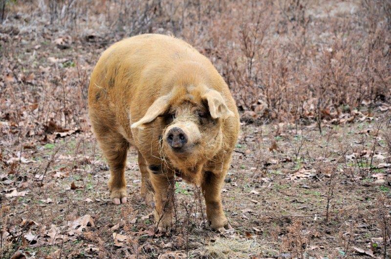 Mr Pig edited