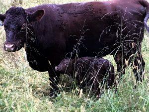 Saturday Morning Calf at Thistle Hill Farm