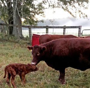 Thistlehill Calf