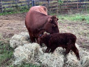 Tullip Bull Calf