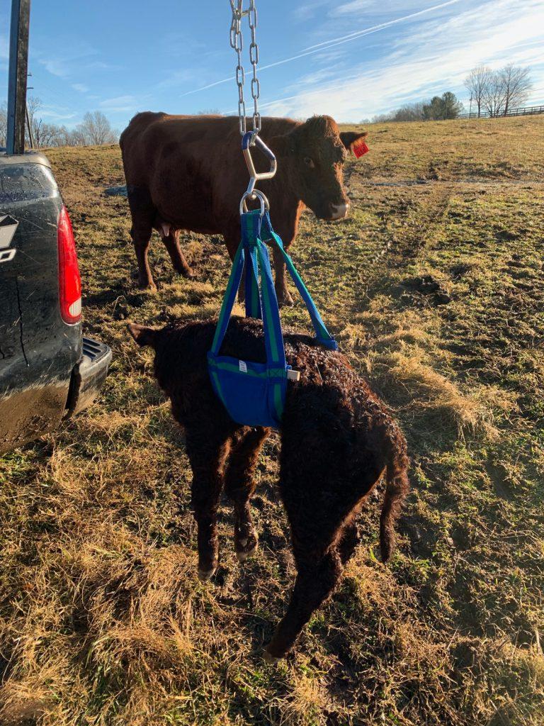 Weighing Calf
