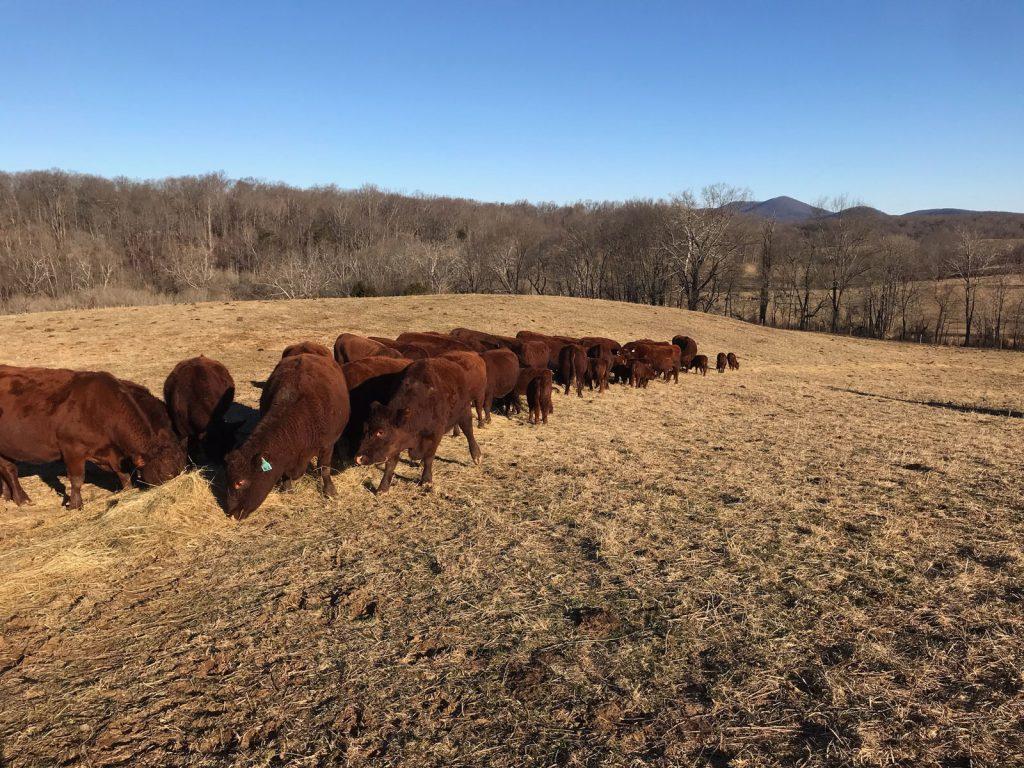 Thistlehill Farm Herd