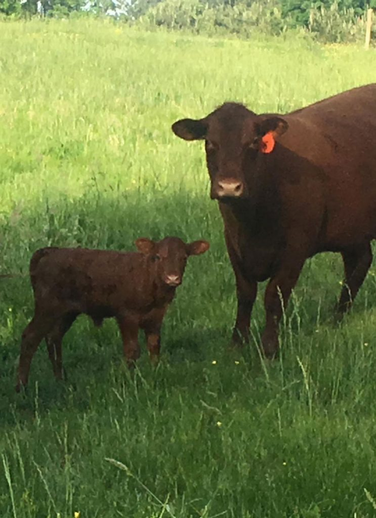 King David's heifer calf and dam X2a