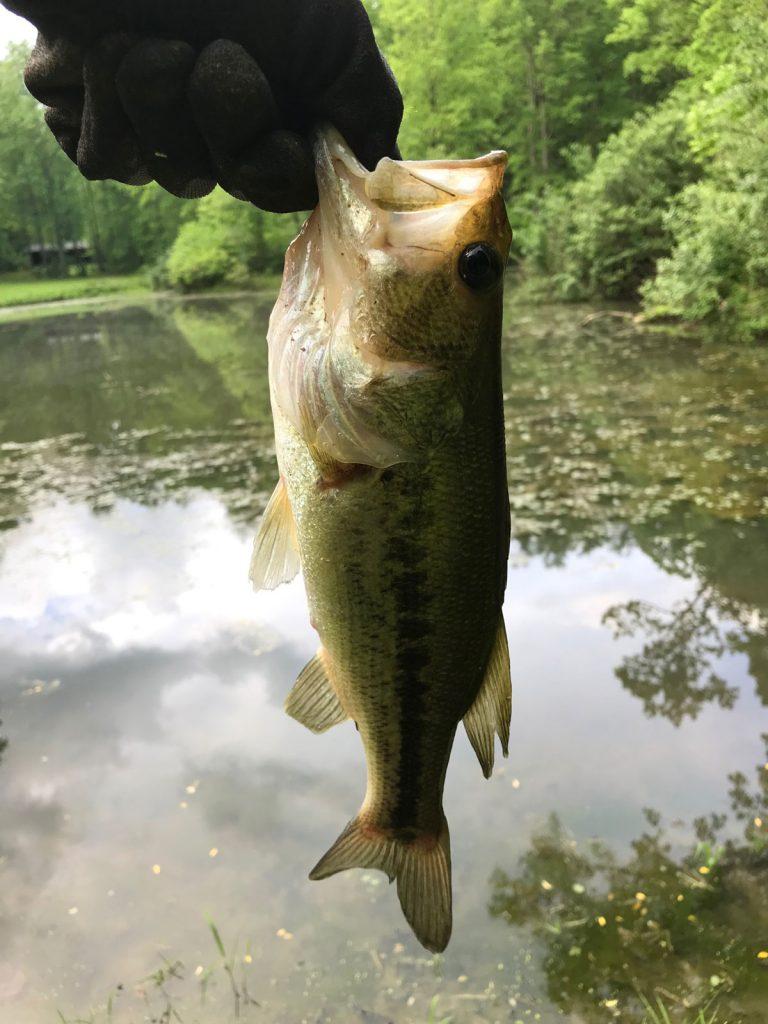 Thistlehill Farm Bass