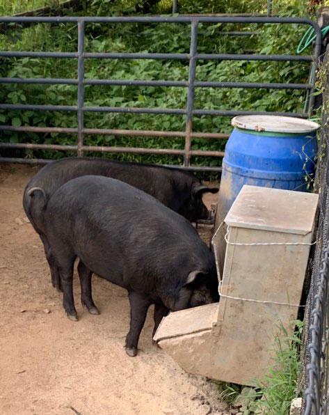 Thistlehill Farm Pigs