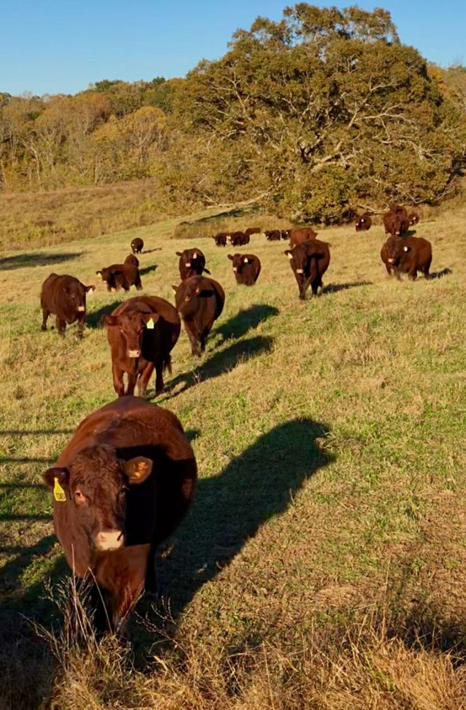 Thistle Hill Farm Cows