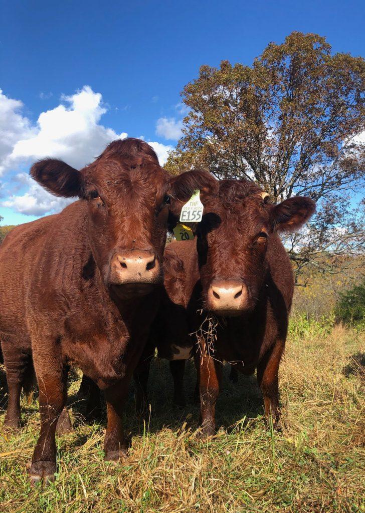 Thistlehill Farm Cows