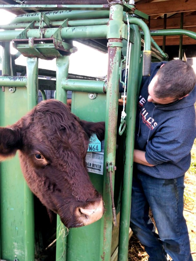 Here the cows are receiving hormone shots to trigger cycling. There's a two-day wait before actual insemination.
