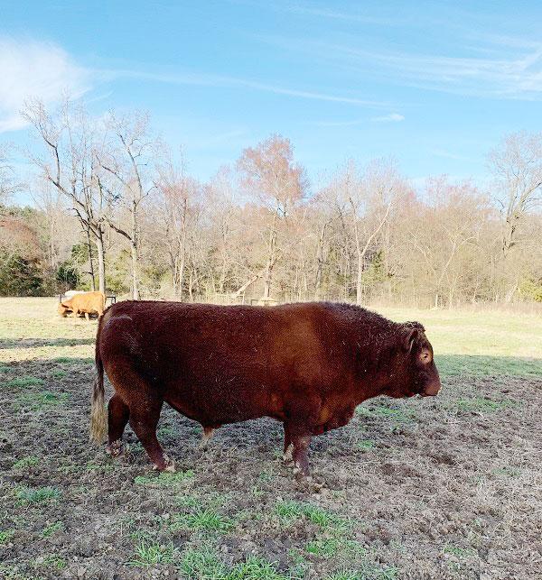 Rojo - Bull
