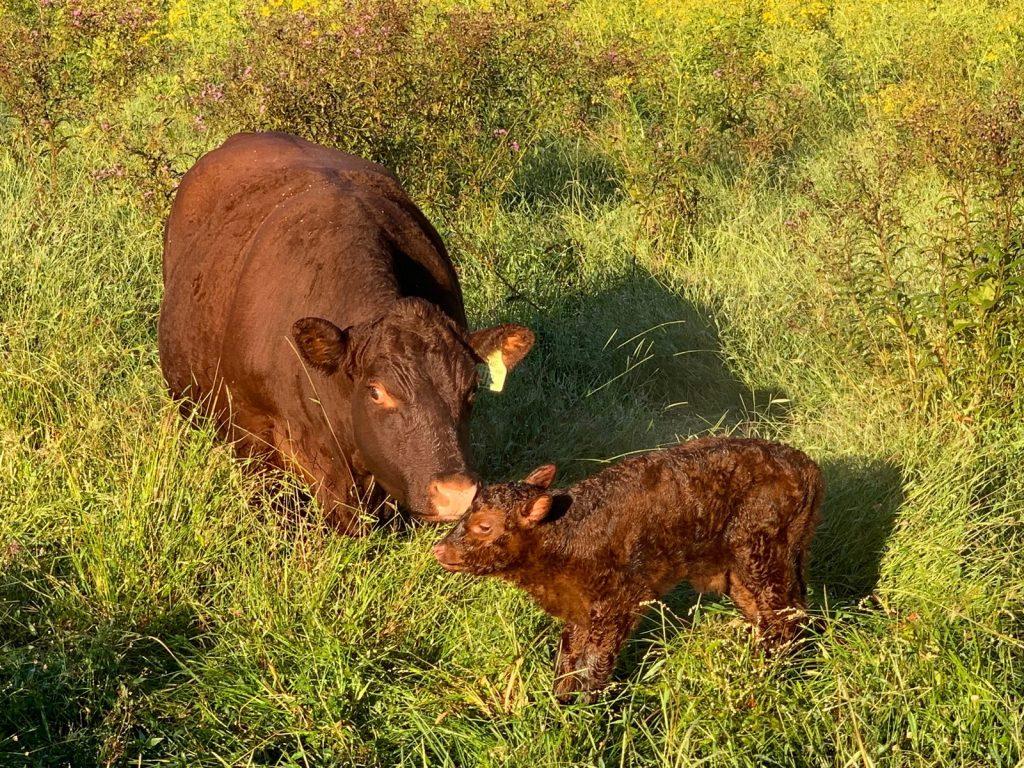 THF U3 and her bull calf