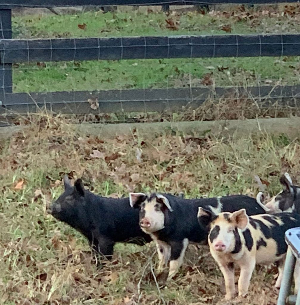 Thisthill Farm Pigs