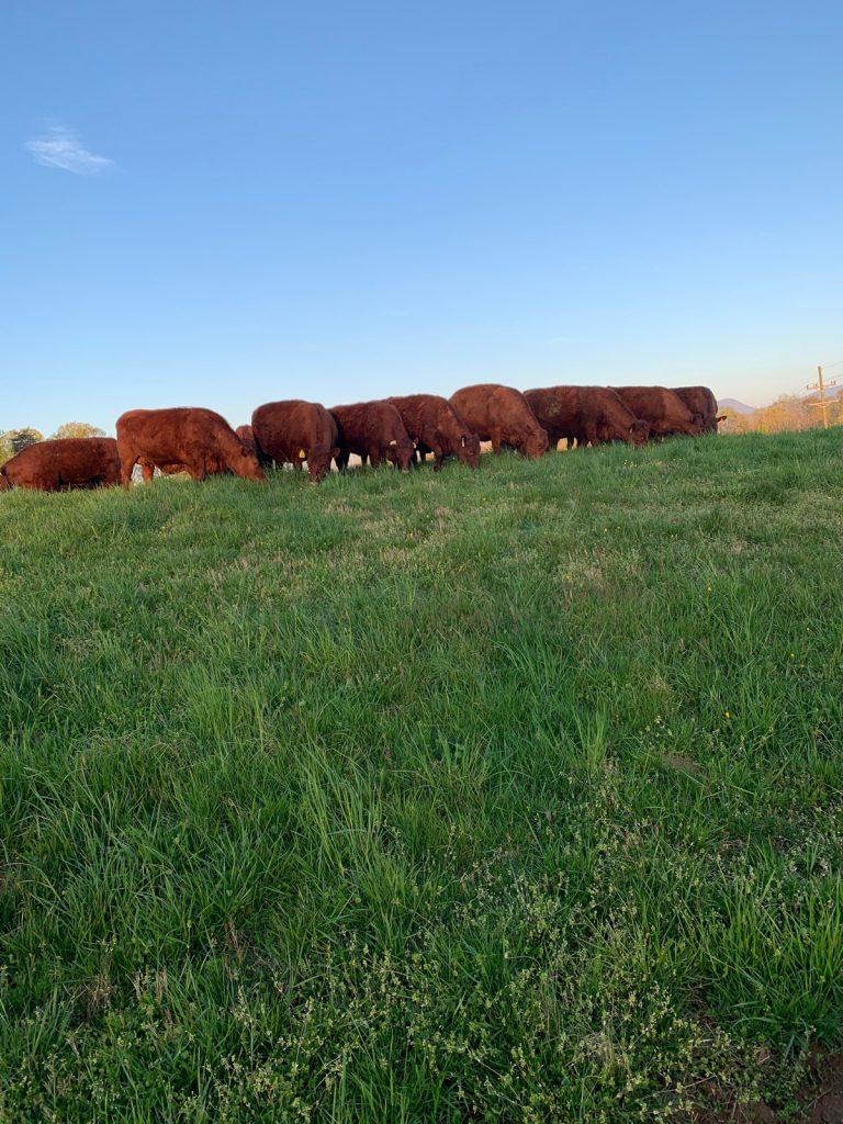 Thistlehill Farm Devon Cattle